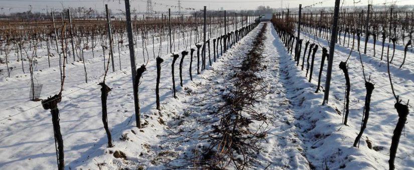 Rebschnitt Winter 2017/18